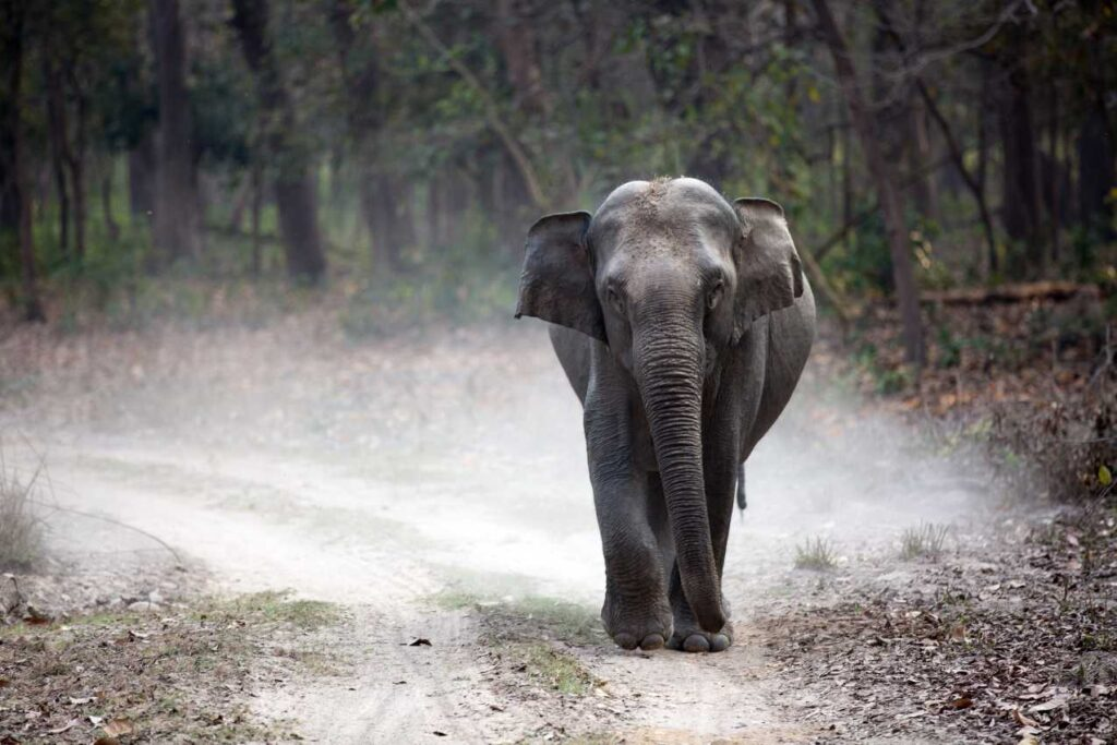 Indian elephant - endangered species in India