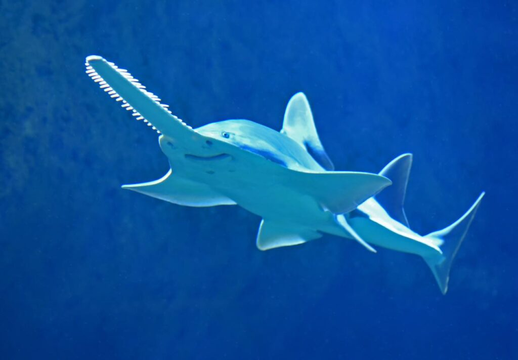 Endangered species in india - Knifetooth sawfish
