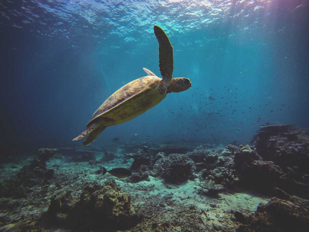 Green sea turtle - endangered species in india