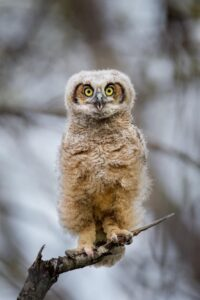 Forest owlet- endangered species in india
