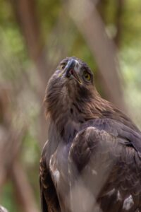 Steppe eagle - endangered species in india