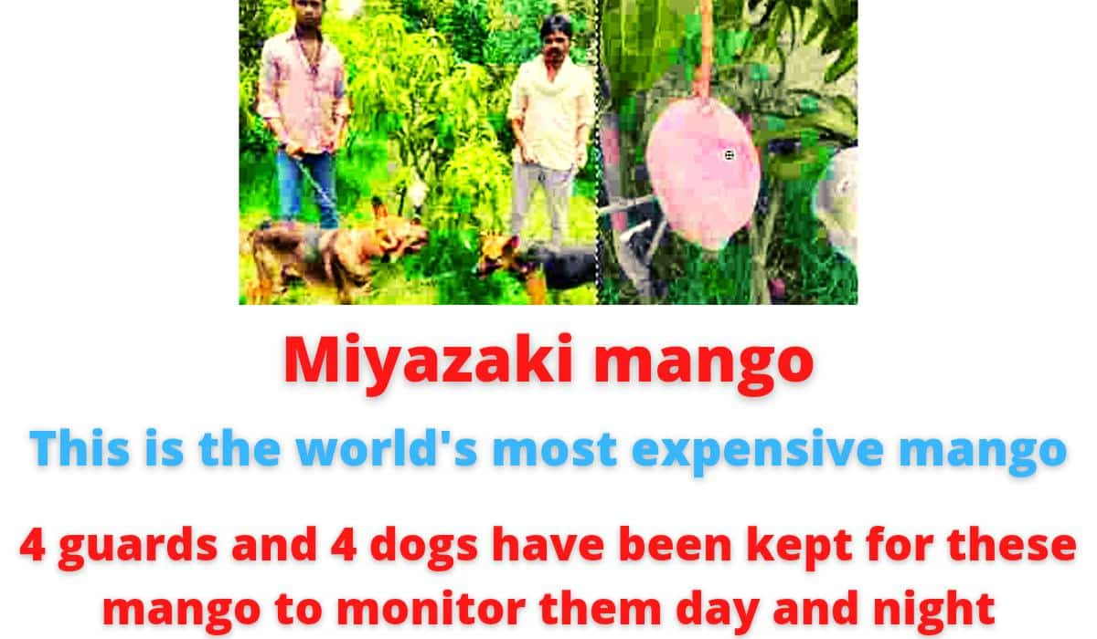 Miyazaki mango | This is the world's most expensive mango | 4 guards and 4 dogs have been kept for this mango to monitor the day and night.