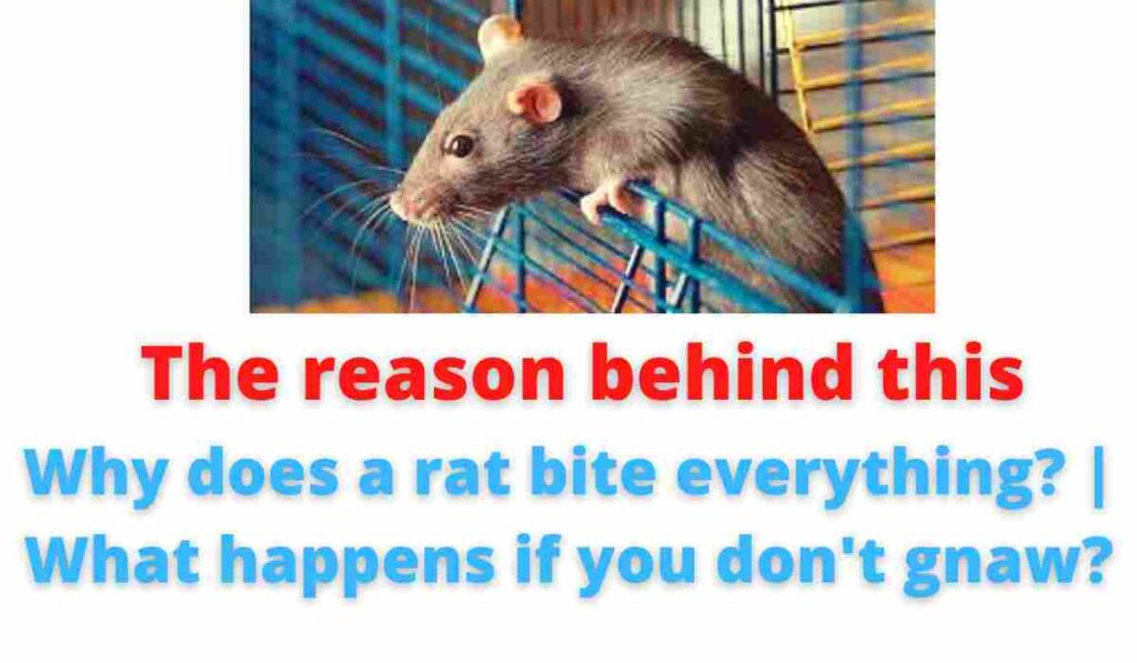 The reason behind this: Why does a rat bite everything? | What happens if you don't gnaw?.