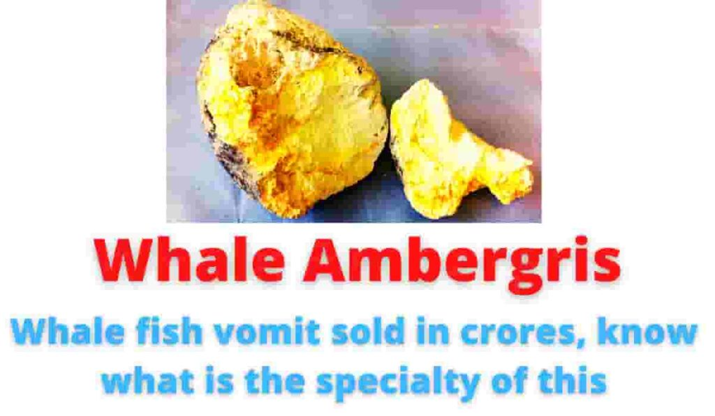 Whale Ambergris: Whale fish vomit sold in crores, know what is the specialty of this.