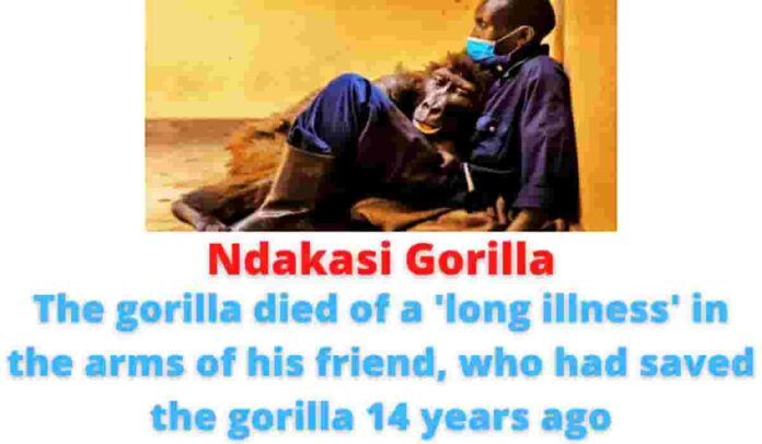 Ndakasi Gorilla: The gorilla died of a 'long illness' in the arms of his friend, who had saved the gorilla 14 years ago.